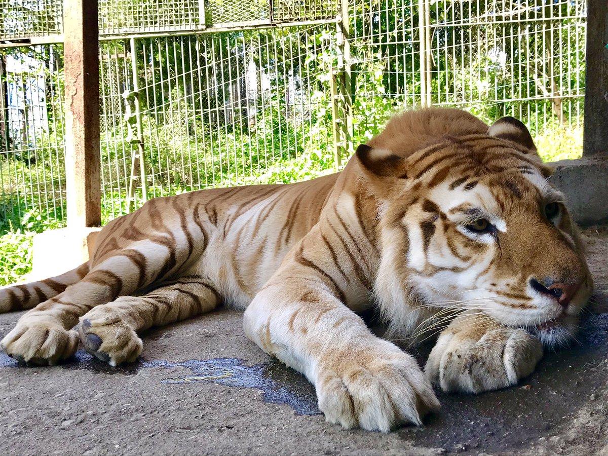 あざといポーズのボルタ🐯💓見つめる先には…美虎イオンちゃん😳 #イオンちゃんもイチコロ #かと思いきや #見向きもしないイオンちゃん #頑張れボルタ #ボルタのいる生活  #イオン #クールビューティ #tiger #ベンガルトラ