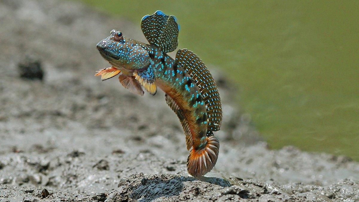 Илистый прыгун рыба фото