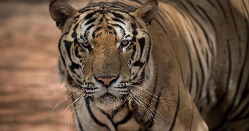 86 tigers rescued from Thailand's infamous Tiger Temple have died cbsn.ws/2O4SC7h