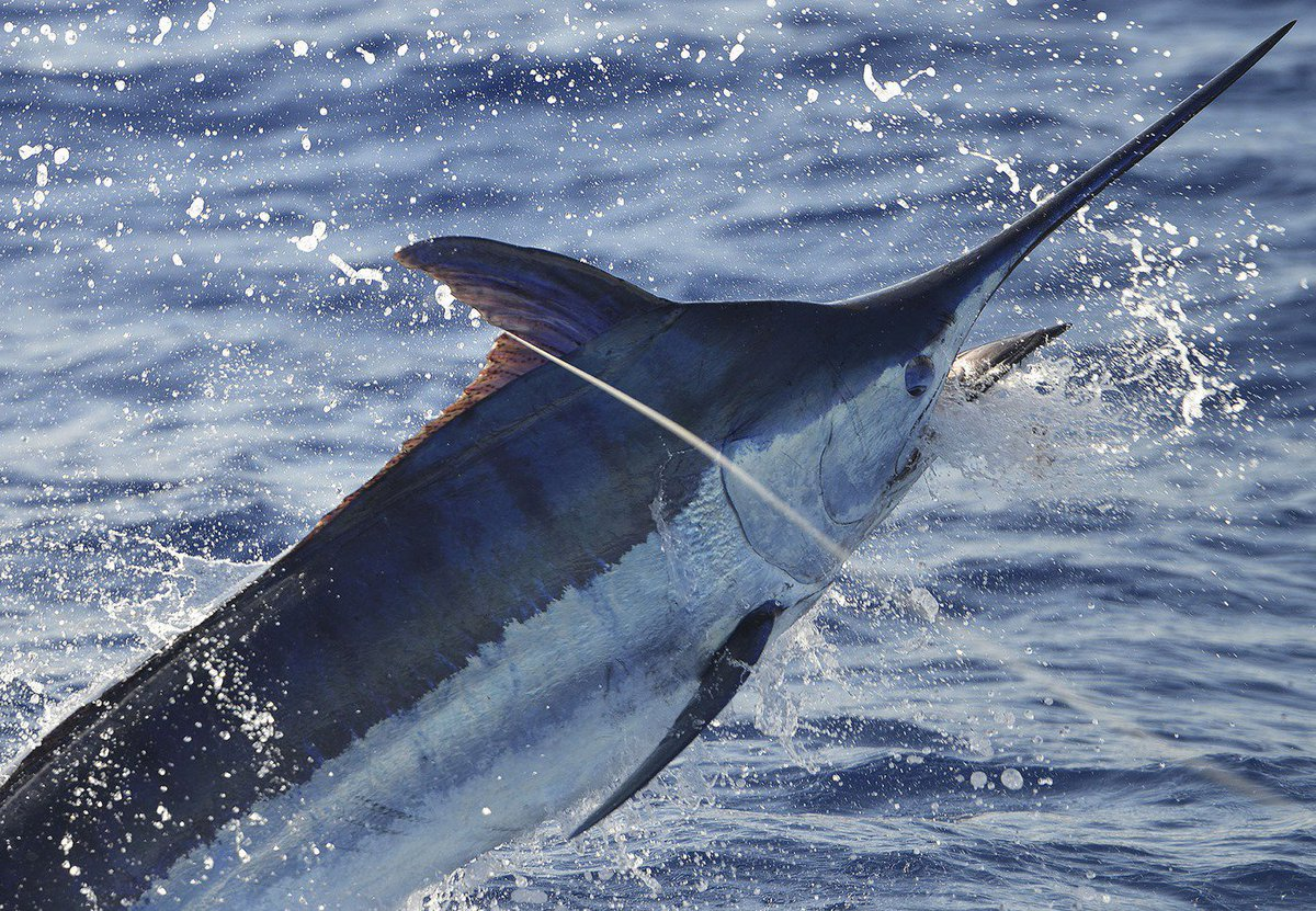 Azores - Brasilia went 3-6 on Blue Marlin (850,800,700).