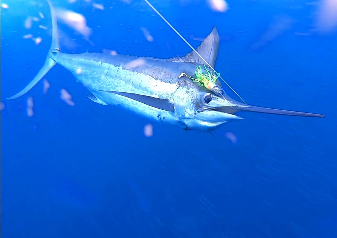 Ponta Delgada, Azores - Captain Jose on the Alabote went 2-2 Blue Marlin (400,350).