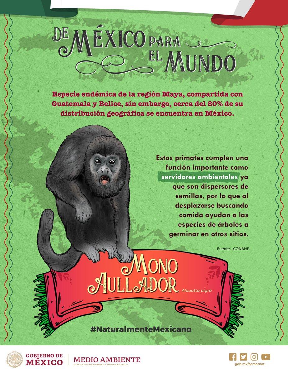 #NaturalmenteMexicano🌵🇲🇽🍃 | El #MonoAullador es #OrgullodeMéxico. 🇲🇽 Estos primates cumplen un papel importante como servidores ambientales. 🐒🍃¡Conoce más! 👇🏽Comparte.