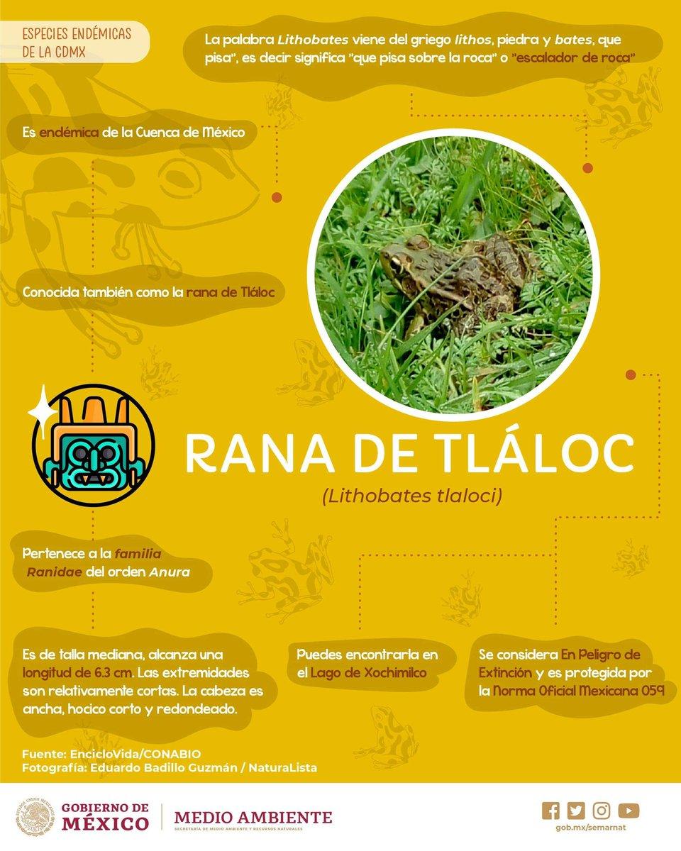 🌟 La #RanaDeTláloc es una #EspecieEndémica de la Cuenca de #México. 🐸🇲🇽¡Conoce más! Comparte.