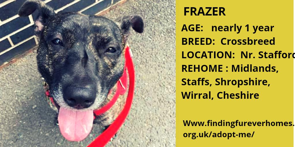 🐾FRAZER🐾 needs you to RT to help find a new home. Thank you findingfureverhomes.org.uk/dogs/frazer/