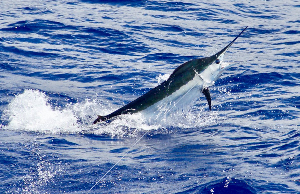 Kona, HI - Marlin Magic II released a Blue Marlin. Photo Carol Lynne.