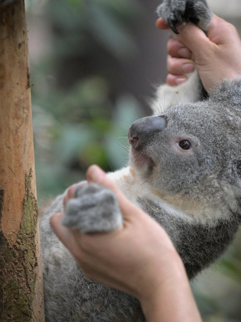 埼玉県こども動物自然公園で暮らすコアラ、ピリー。そのうちまたこうして外で会えるかな。また会いたいな。頑張れピリー。木の上から降ろされていくところは天王寺のアークとあまり変わらない。過程はブログでどうぞ→大きくなったね、かわいいね。