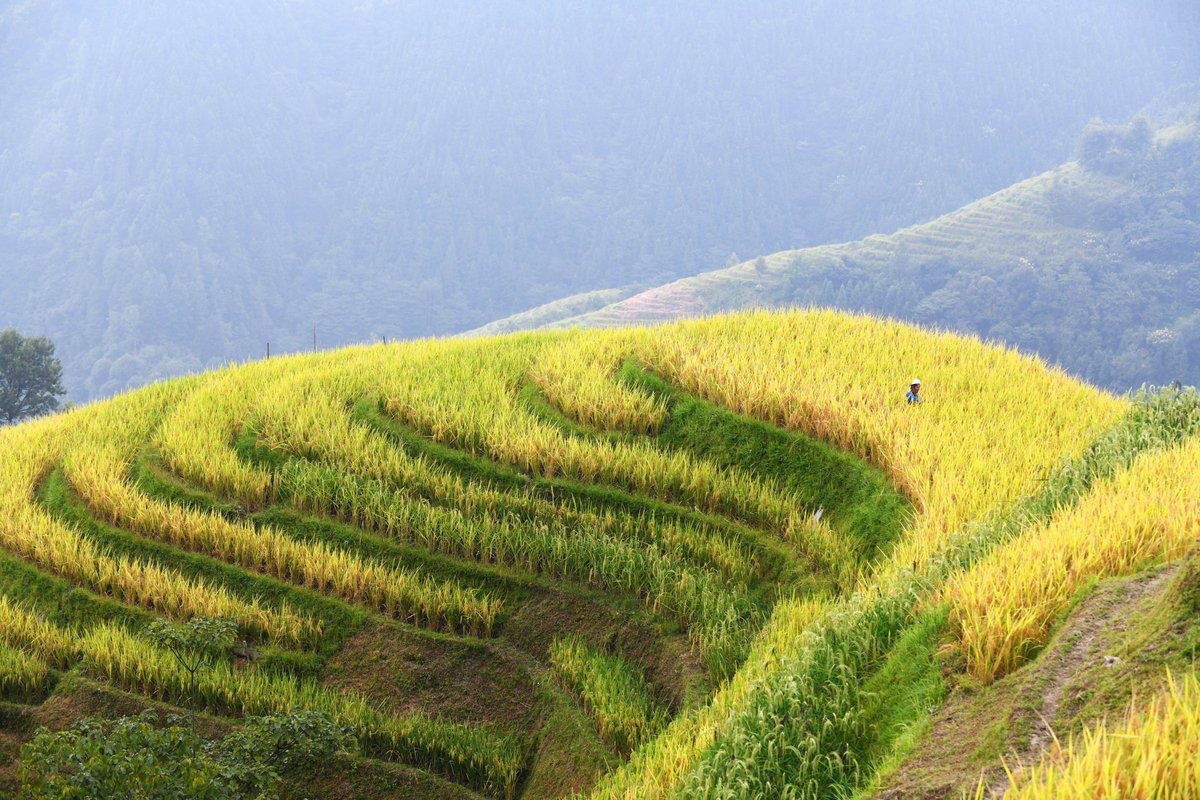 A really rice crop! Farmers harvest paddy in Jihua village, Guizhou Province, southwest China
