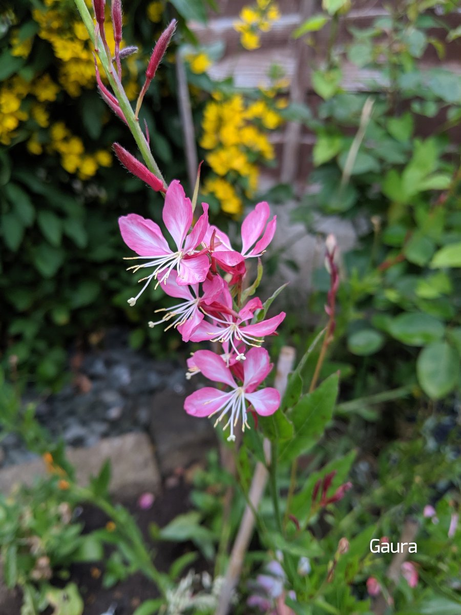 Good morning and happy Wednesday, today is my birthday so today's photo is of my favourite plant, a Gaura, this beautiful plant flowers from early summer until well into autumn, it is also called beeblossom, hope you all have a lovely day, take care 🌻💮🌸💐🌺xx