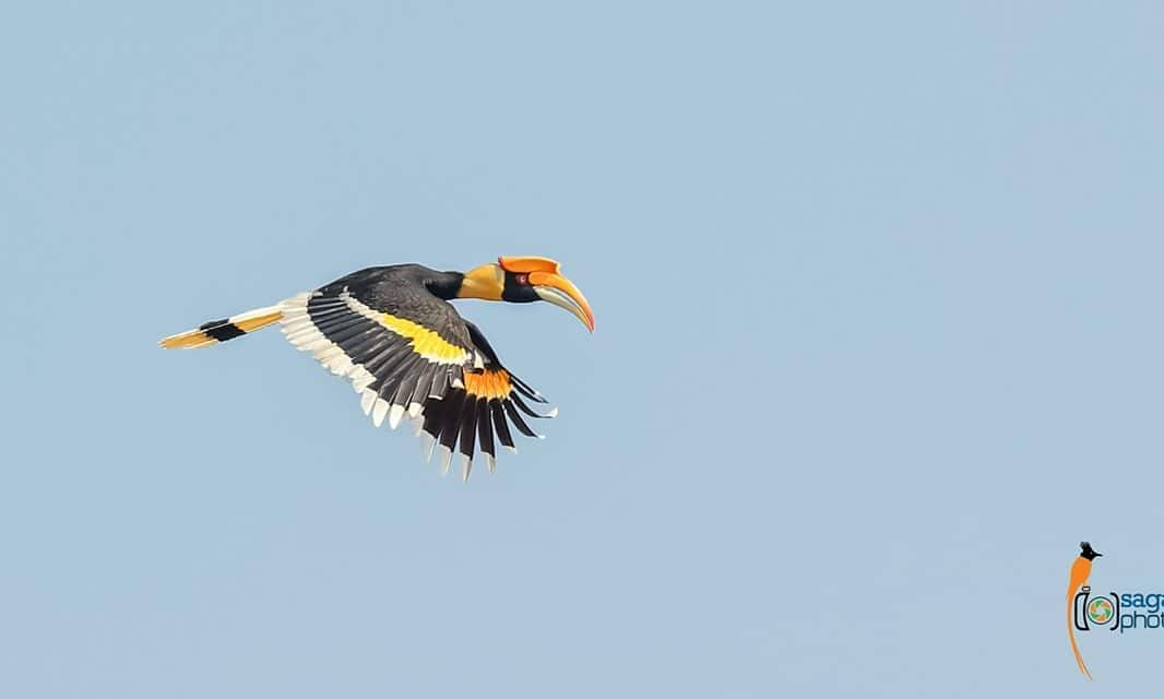 The great #hornbill, also known as the #concavecasqued is the heaviest among #asianhornbills. It weighs in at around 2.15 to 4 kg and normally inhabits the dense forests along the Terai area. Its distinct bright yellow, black casque on top of its massive bill is an easy giveaway.
