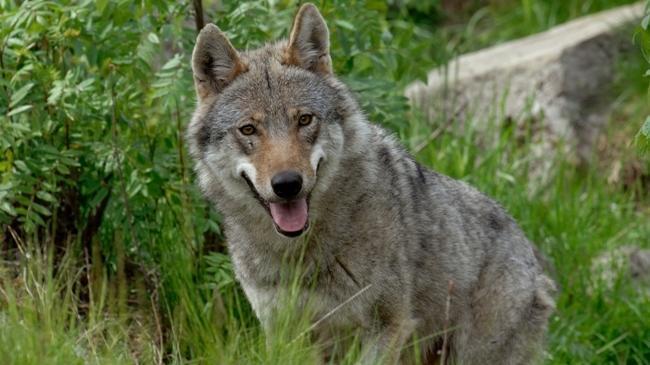 Vertice in Prefettura: «Il lupo non fa paura ma l...