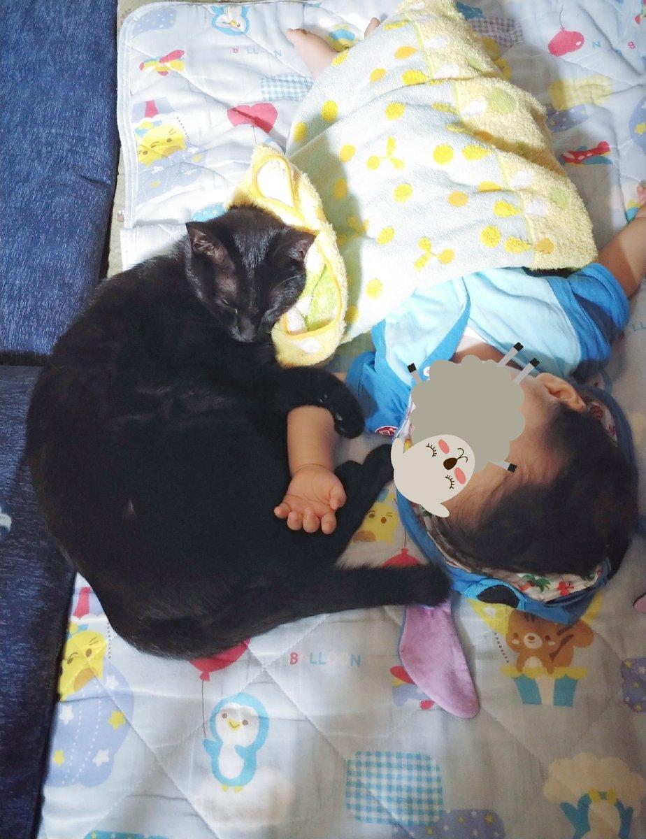 518日目。乳児を寝かしつけて離れたところ、黒猫がやってきて乳児の体を肉球でそっとツンツン。動かないことを確認(?)すると、のっそり寝そべった。ただ、あまりに距離が近くて寝返りの際「掴むかも」「驚いて引っ掻くかも」と思いハラハラ見守っていたが黒猫は動じなかった。兄弟のよう。