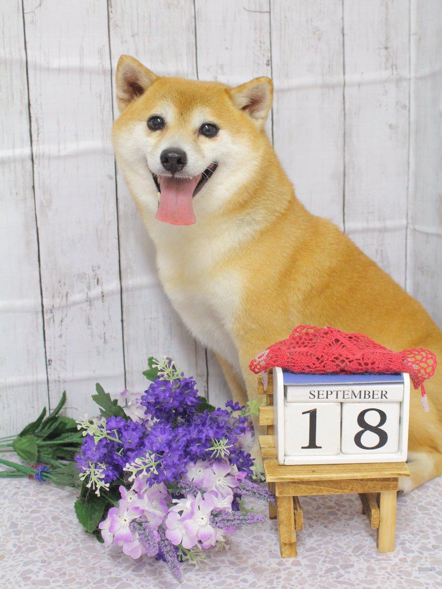 本日シャンプーに来店してくれた #AHR 卒業生のモカちゃんです落ち着いて過ごしてくれました #犬のお風呂 #柴犬大好きサロン #シニアケア #アニマルセラピーハウス #センター南動物pic.twitter.com/LI90wMMssU