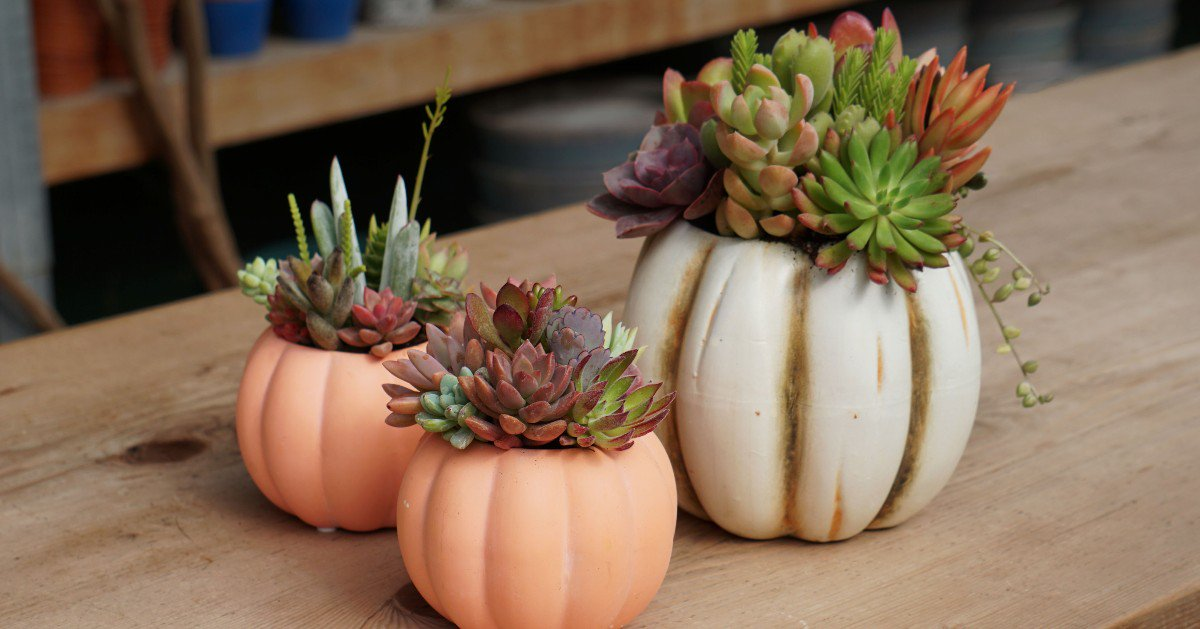 Zocalo Edmonton Pa Twitter Perfect For Fall These Pumpkin Succulent Arrangements Will Make Your Space Feel Extra Cozy Pick One Up To Set The Stage For Your Seasonal Celebrations Fall Autumn Succulents Cozy