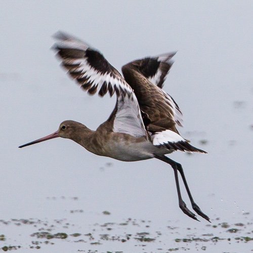 Elegance is returning to #ChristchurchHarbour #Dorset. A small group of #BlacktailedGodwit look quite settled<br>http://pic.twitter.com/VqsaBX4VDO