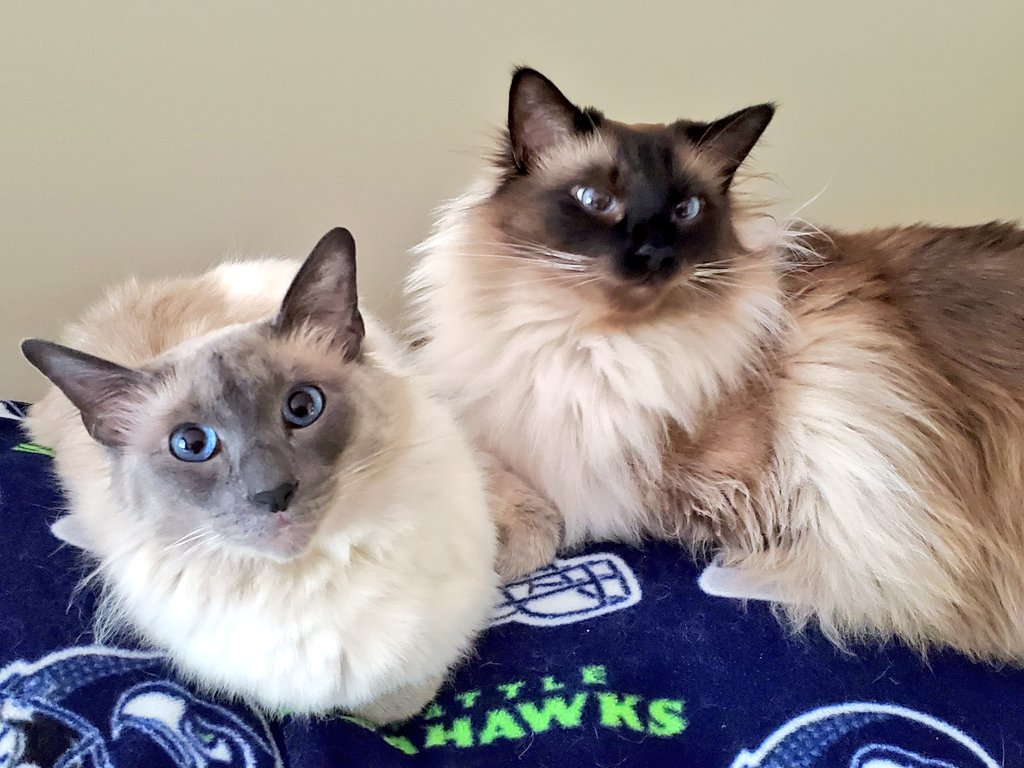 Happy #WhiskersWednesday one and all. Ragnar and Cairo are all in for the @Seahawks who are off to a great start this season.👍🏈#CatsOfTwitter #TeamRagnar #TeamCairo #GoHawks