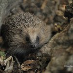 Image for the Tweet beginning: #Hedgehogs need our help the