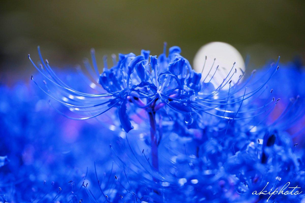 青い 彼岸花 花 言葉