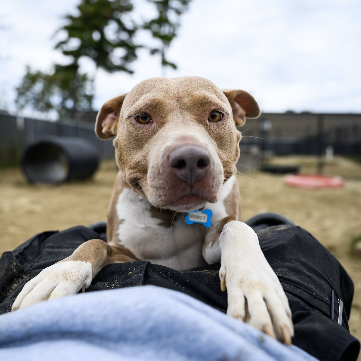 """ADOPTABLE: Mercy, Pit Bull mix (2 y/o) - via @allbreedrescuvt , VT • """"She came here with her puppy, Abby, who got adopted. They were found in the woods down in South Carolina. She's a hugger and good with other dogs."""""""