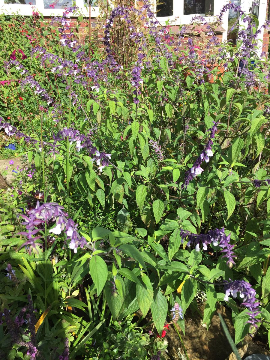More #Salvias Phyllis Fancy ⁦@TwigsSwindon⁩ and involucrata and pineapple sage