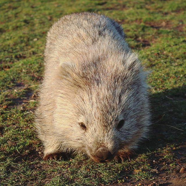 Les wombats sont mes nouveaux animaux australiens préférés. Ça a l'air bin chill, mais ça coure à 40km/h ces p'tite bêtes-là! @tasmania #discovertasmania #ausqc https://ift.tt/2nXPiQRpic.twitter.com/b7V6N9TMSx