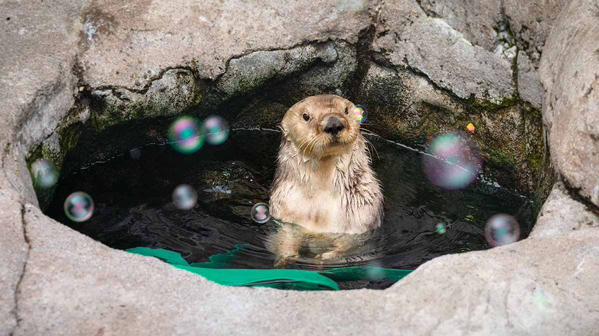 Ready to pop the bubbly? SEA OTTER AWARENESS WEEK STARTS TOMORROW!