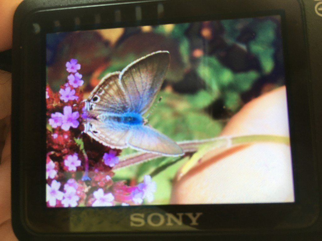 Long-tailed Blues breeding in Dorset  https://www. dorsetbutterflies.com/2019/09/long-t ailed-blues-breeding-in-dorset/   … <br>http://pic.twitter.com/jYhVknsF3a