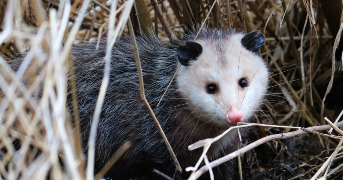 The hero of the animal kingdom? The Opossum. ow.ly/76NU50wgkTS