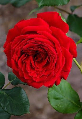 Finnnnnmm 🍒🌺🌹 MEJOR IMAGEN DEL DÍA @AlbertoJor18 🍒💯 Aroma a rosas!!! BUENOS Di@s 🌺☕🌺☕