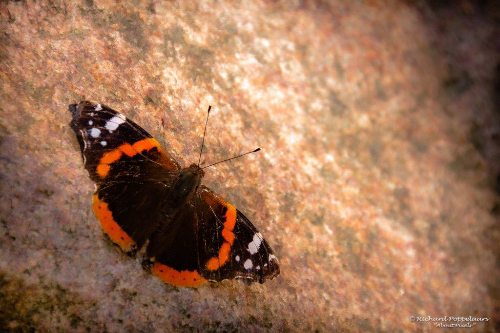 De zomer vliegt voorbij en op deze laatste dag van de #zomer tref ik nog net deze Atalanta vlinder. Geniet ook van de zon en vanaf morgen het goud van de herfst #OpVoornePutten.  Photo: @About_Pixels / #seizoen #vlinder @ZHLandschap