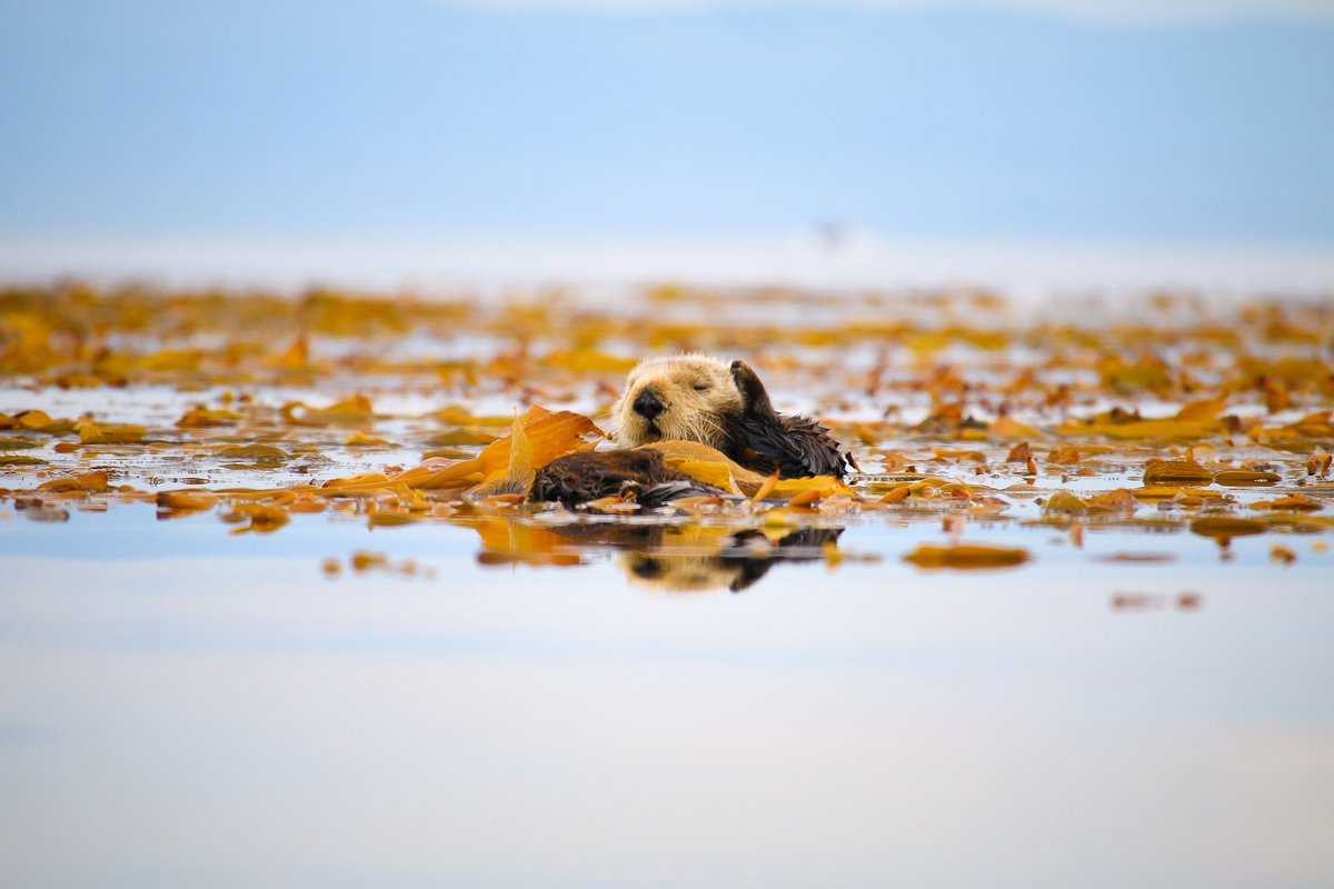 IT'S SEA OTTER AWARENESS WEEK! THIS IS NOT A KRILL! Sea otters are near and dear to our hearts. Since day one, the recovery of these critical critters of the kelp forest community has been central to our mission of ocean conservation! <br>http://pic.twitter.com/yWmefV2ZHU