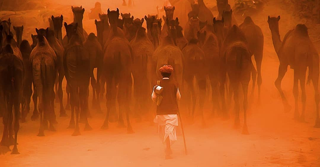 #Archive #Asia #Photojournalism #indiaclicks #indiapictures #camels #photooftheday #colorsofrajasthan #dailylifeindia #travelphotography #incrediblerajasthan @my_rajasthan