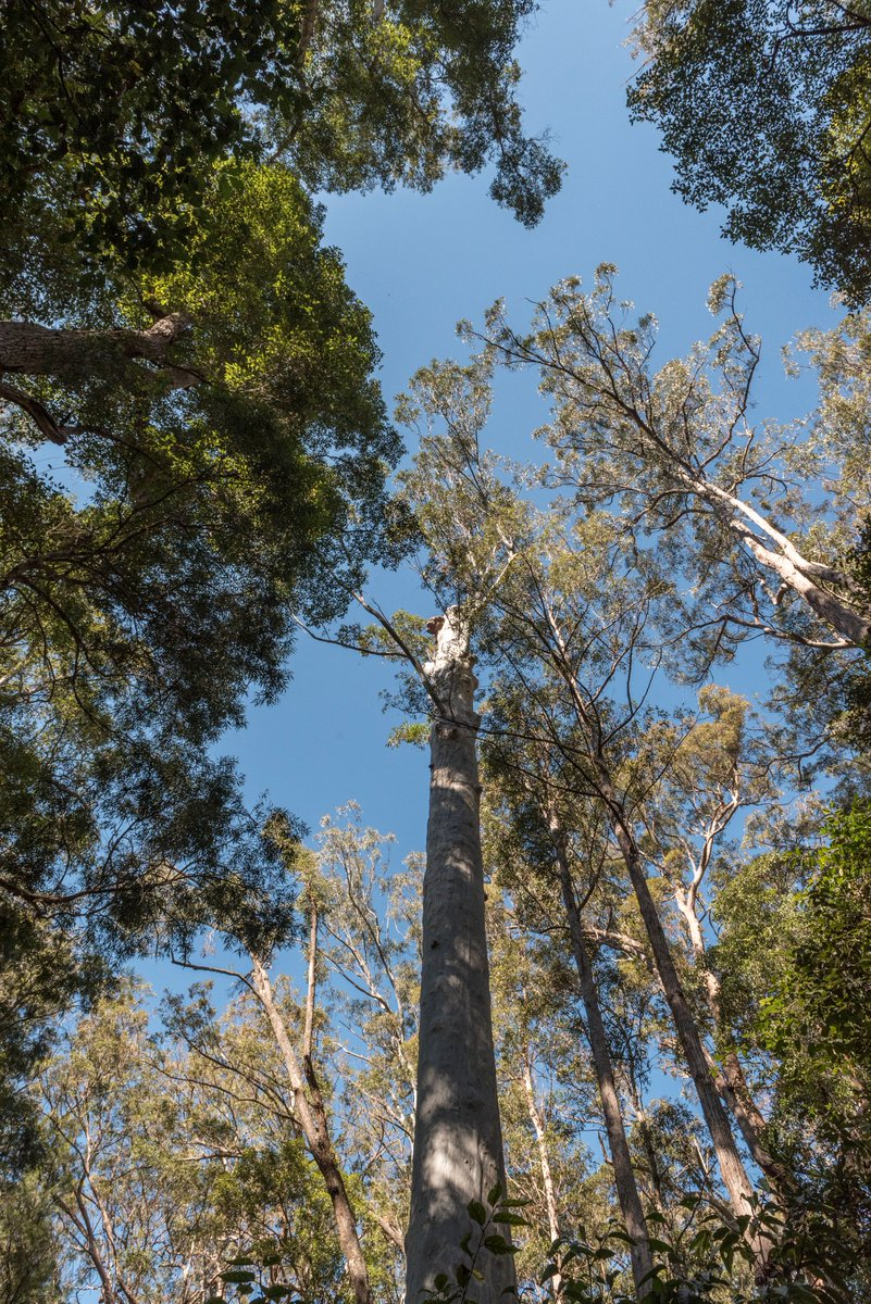 @Matt_KeanMP @GladysB @RobStokesMP @MarkSpeakman @James_HGriffin @markcourelive @VictorDominello Here are some of the old growth trees facing chainsaws if the NSW Govt goes ahead with plans to rezone 1000s of hectares that have been protected for decades. Theyre in Clouds Creek on the mid-north coast. 🐨🌳 #DontLogOldGrowth 📷@maxphillips