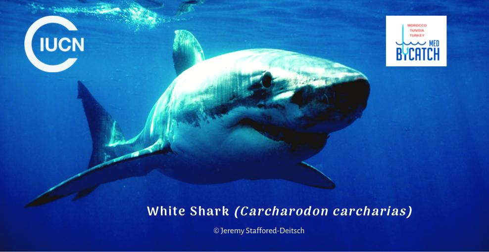 Less than 250 #WhiteSharks are estimated to survive in the #Mediterranean according to @IUCNRedList. Incidental catch is one of the main causes.  Find out how the #Medbycatch Project is working to #StopBycatch  http://bit.ly/2U63CSOpic.twitter.com/G0RYurI5ek