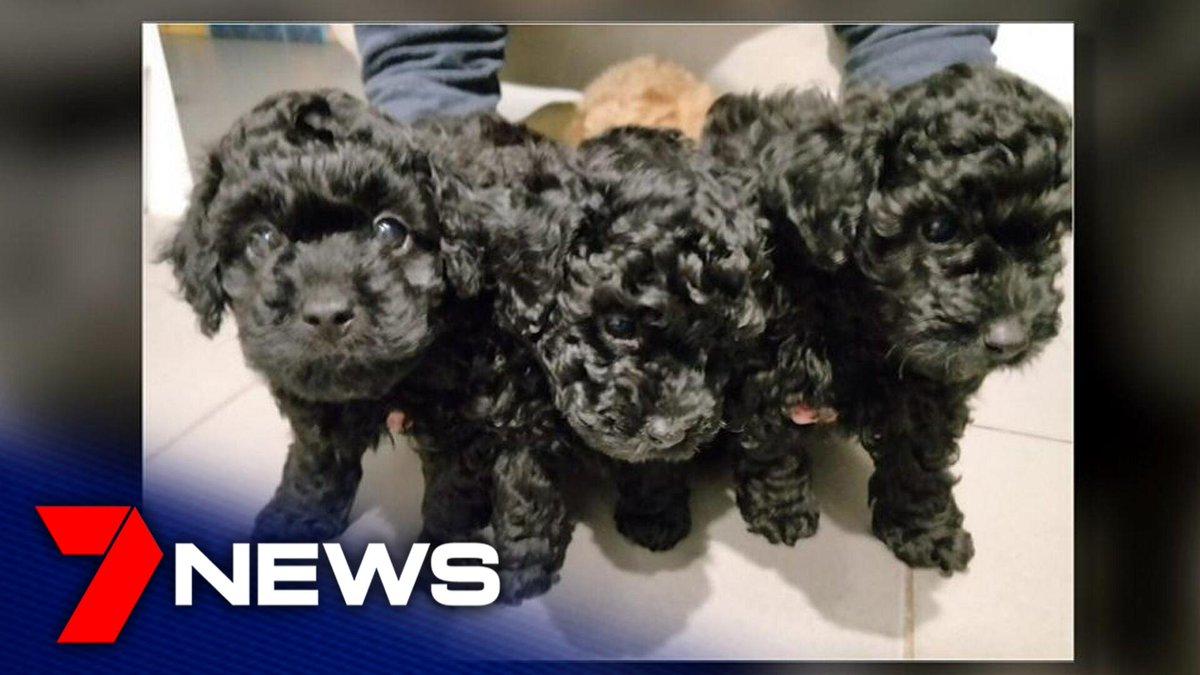Queensland Mother Son Devastated Falling Victim Puppy