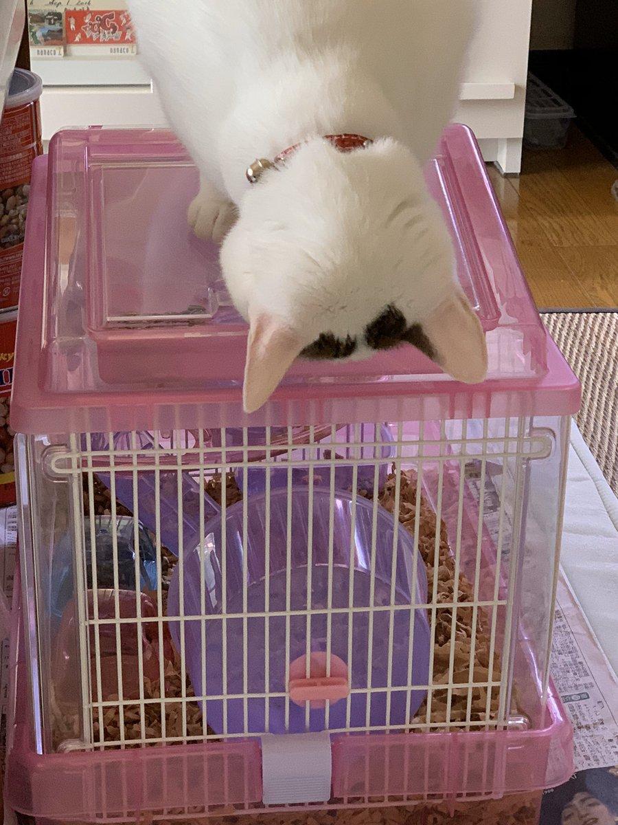 我が家の悪い猫  #猫 #保護猫 #ハムスターケージ