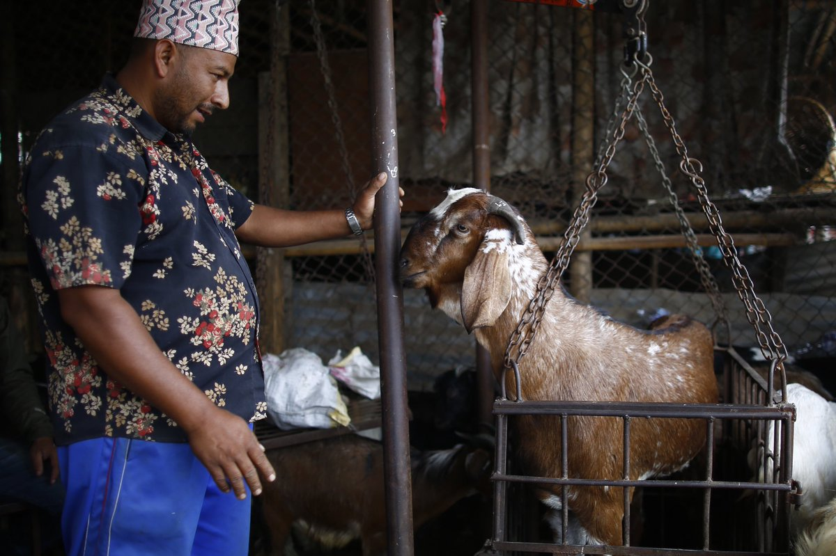 A vendor weights a goat before selling it to customers during Dashain festival at a livestock market in Kathmandu, Nepal on Thursday, October 3, 2019. Dashain is one of the biggest ten-day grand festivals celebrated by the Nepalese people.
