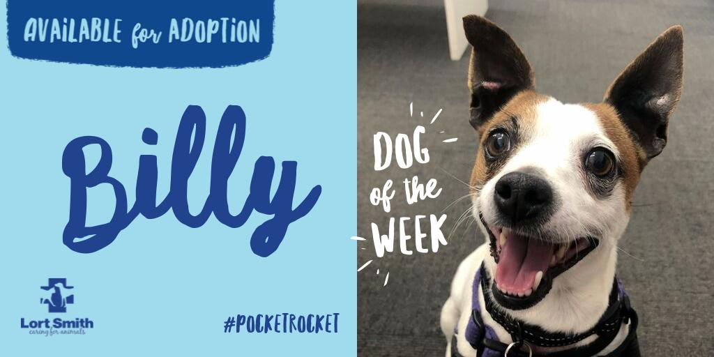 Lortsmith On Twitter Pocket Rocket Billy Is Our Channel7 Dog Of