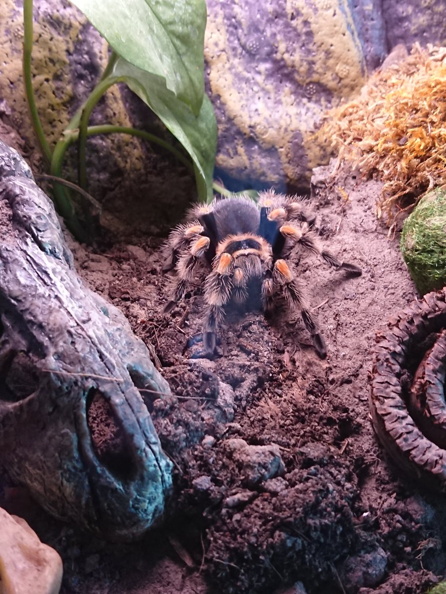 Hey Negan... How r u doin? #tarantula #brachypelmasmithi #brachypelmahamorii #spiderlife #ilovemyspider #neganpic.twitter.com/3ASSsZzRG1