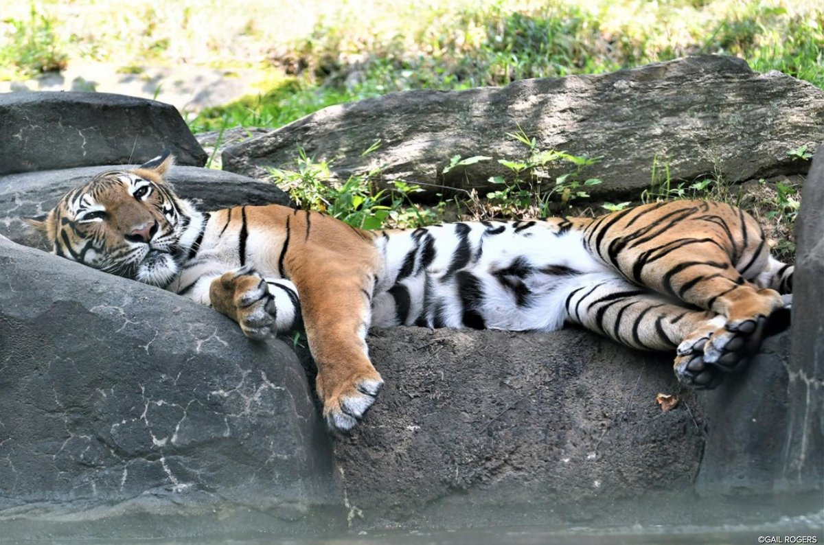 #WCSWildView Chillin' By The Water bit.ly/2mjkR6D via @TheWCS @BronxZoo #BigCats #Tigers #Mammals