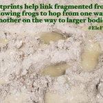 Image for the Tweet beginning: Happy #EleFunFactFriday! Elephant footprints help