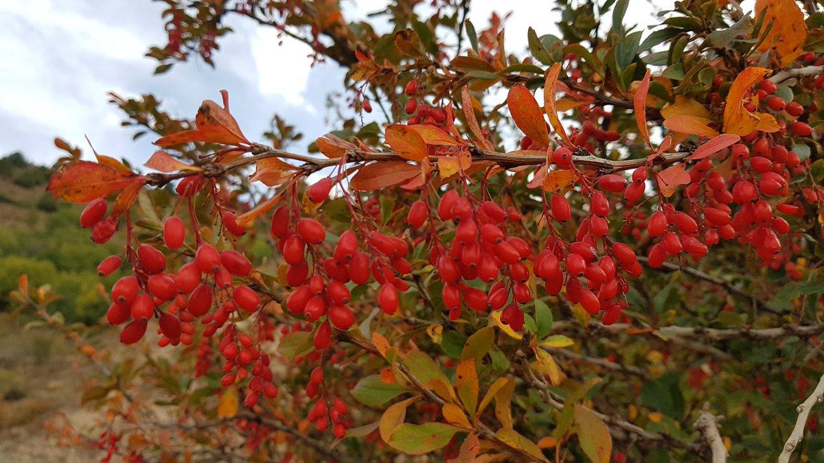 Karamuk, kadın tuzluğu (Berberis  vulgaris)