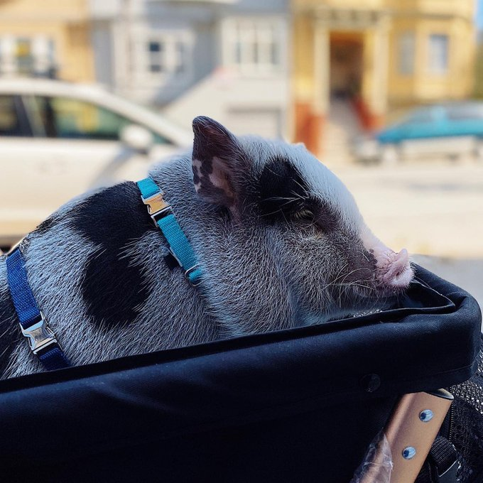 Portrait photo of my mini pig Pablo sitting in his stroller outside my house