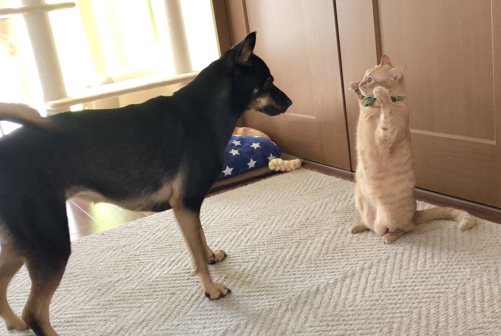 我が家のネコの威嚇方法が完全にアリクイ……