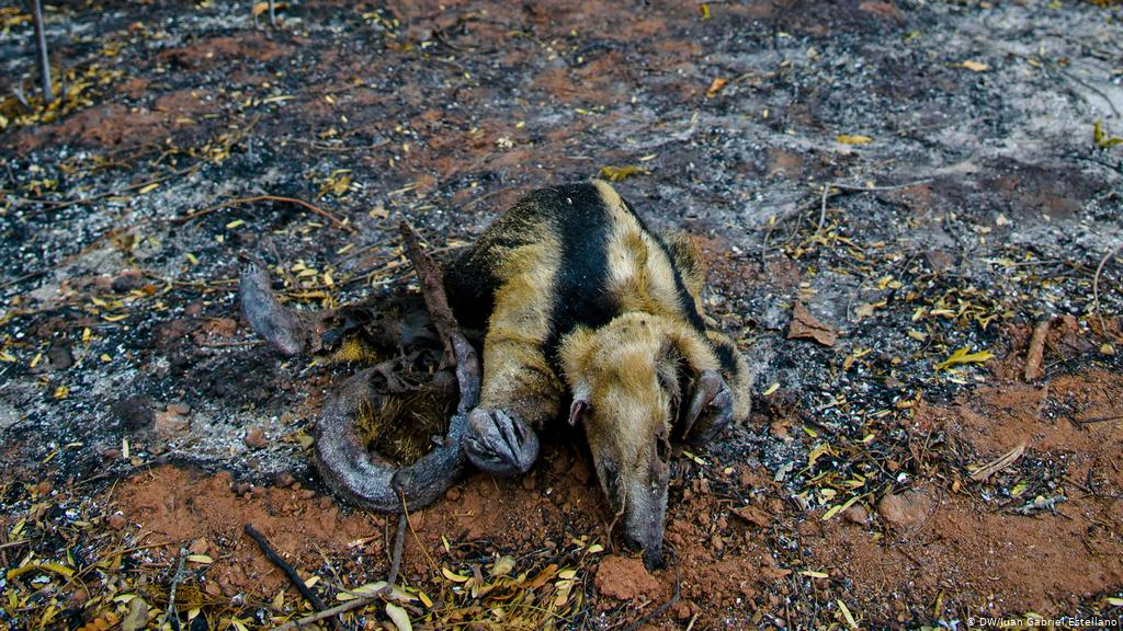 ________  The countless fires in the Amazon NOT only dramatically affect the global #ClimateChange, also the living beings of the region, the voiceless poor burned alive by the greed of the man.   #UnKn0wn  #UnKn0wn_WallOfShame  #SaveMotherEarth  #PrayforAmazonas  #animals<br>http://pic.twitter.com/8SU9Q8trgS