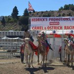 Image for the Tweet beginning: Camel and Ostrich Racing in