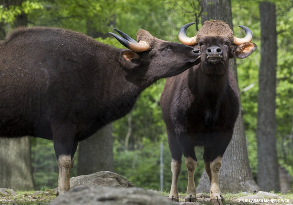 Take a tip from the gaur and show some affection. They're the largest wild cattle and seem to have a sensitive side. See for yourself on the Monorail, before it closes for the season.