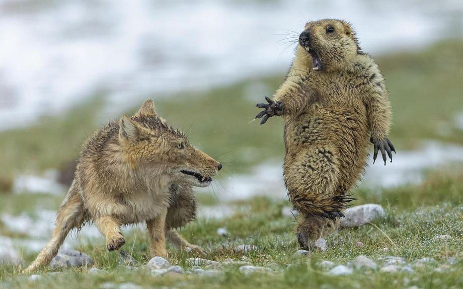 «C'était le début du printemps sur les prairies du plateau tibétain du Qinghai et la neige commençait à fondre… » Voici la meilleure photo animalière de l'année > http://www.leparisien.fr/environnement/meilleure-photo-animaliere-de-l-annee-un-photographe-chinois-recompense-16-10-2019-8173749.php…
