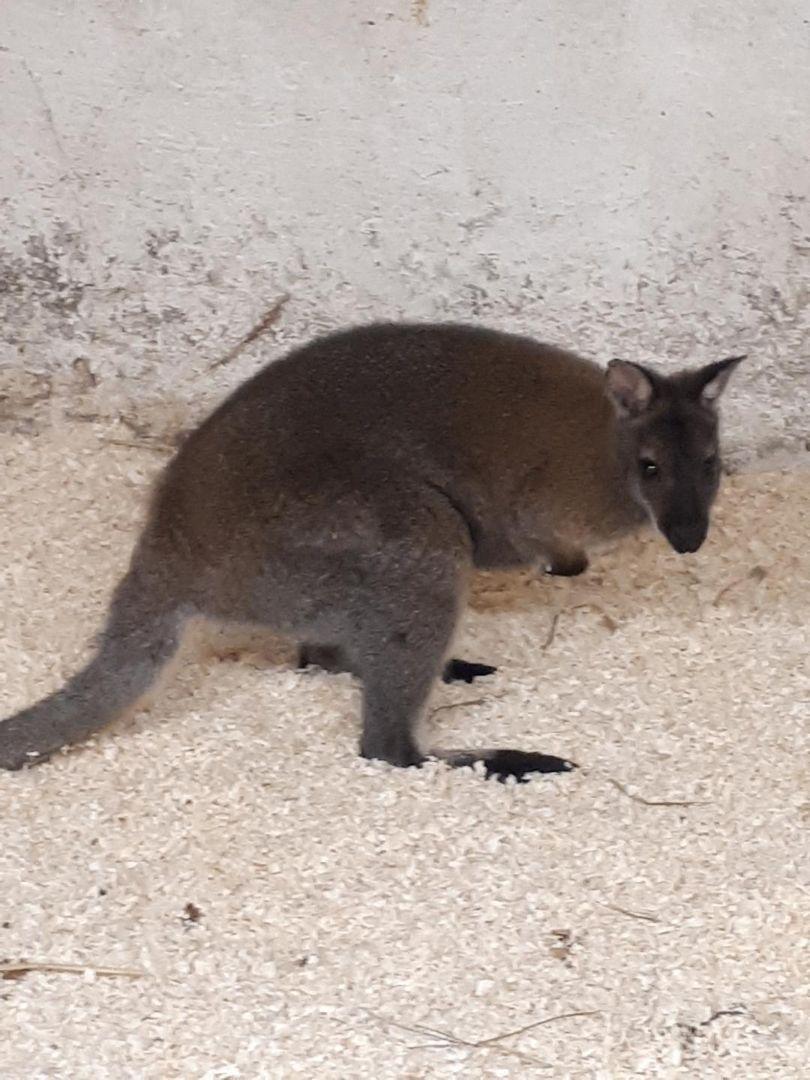Anm. troede ikke sine egne øjne, da han ved Fangel så en kænguru løbe rundt. Den er god nok. Der er sluppet 5 ud fra en ejendom i Fangel. Får du besøg af en kænguru i området, så ring 114. #politidk https://t.co/Y6xrkRdboX