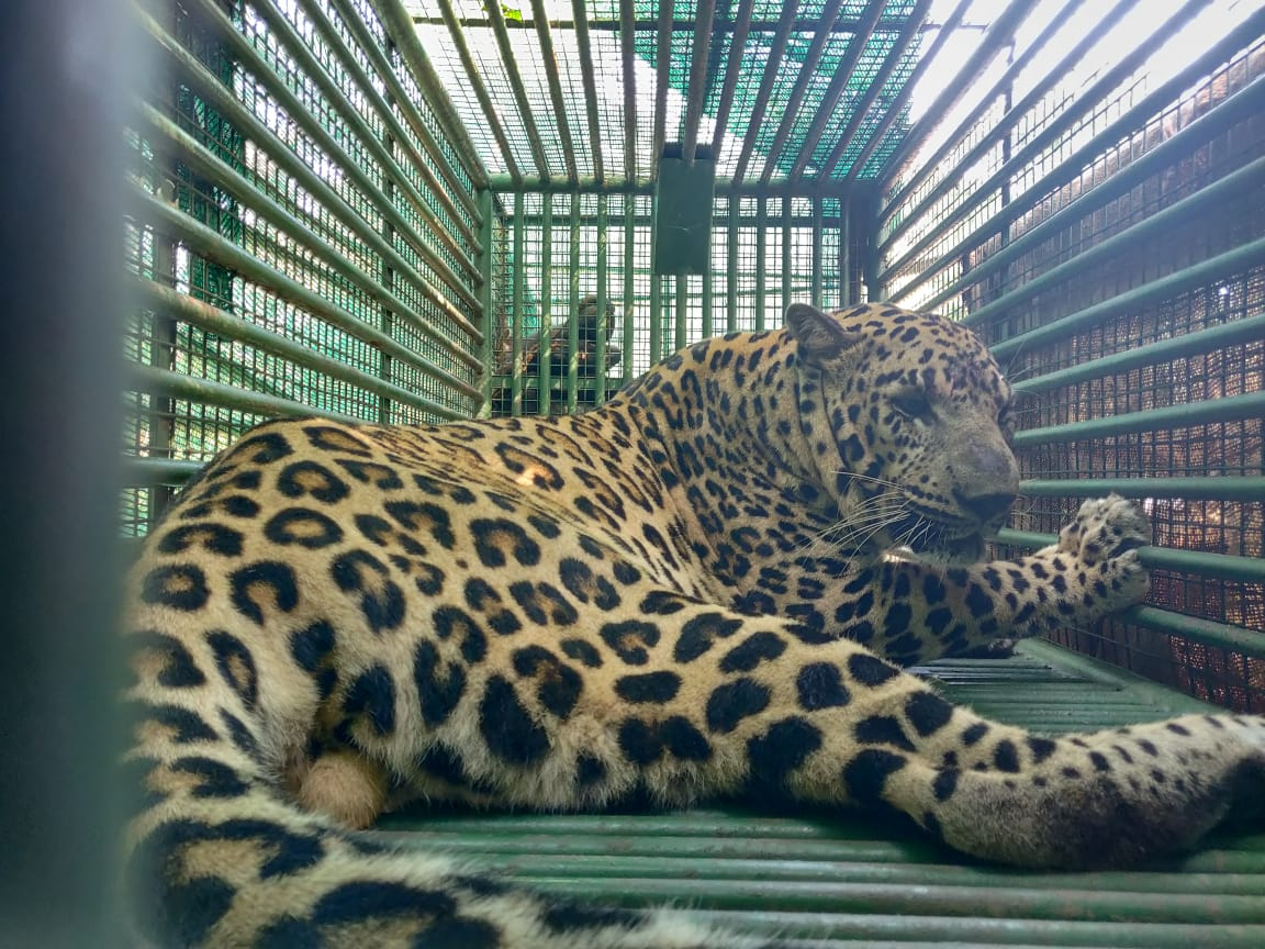 After over 3-month long efforts, a leopard caught by Forest department teams near Gandhinagar