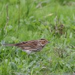 Image for the Tweet beginning: Little Bunting, St Martin's Scilly